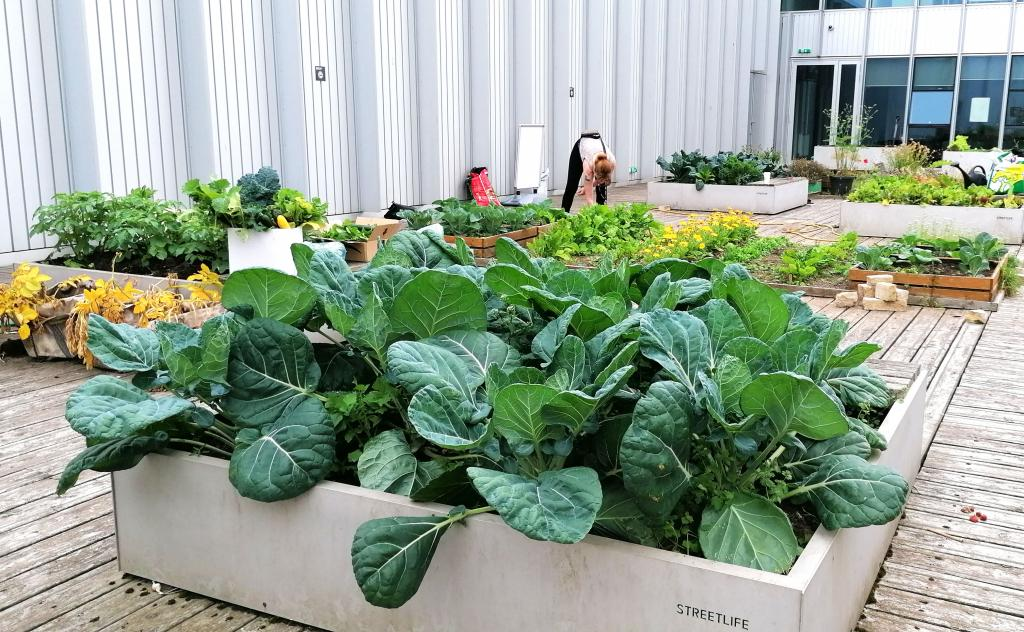 Photo showing Jackie McMaster at work in vegetable garden on fourth floor of college