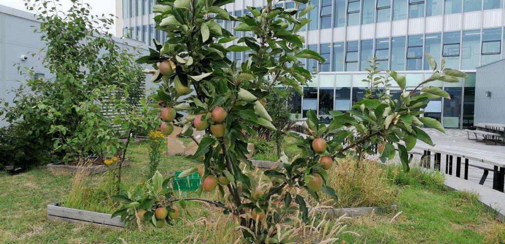 Photo showing apple tree growing in seventh floor garden of college